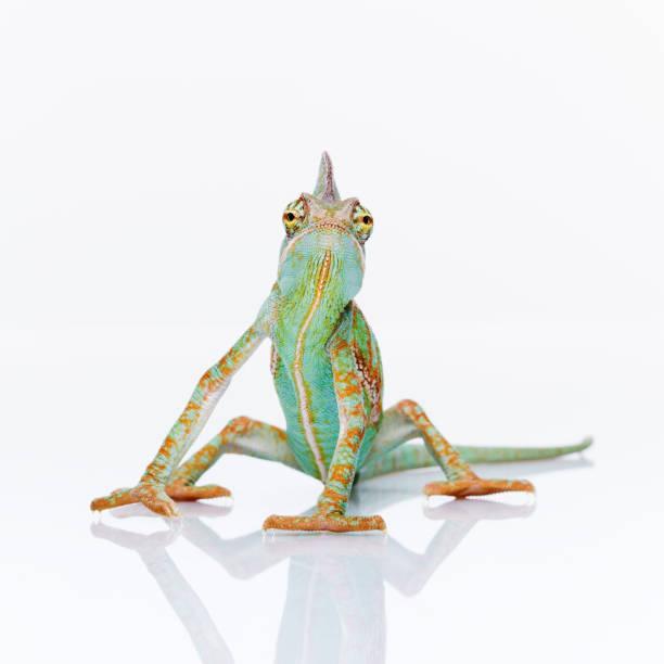 baby chameleon posing at camera - kameleon zdjęcia i obrazy z banku zdjęć
