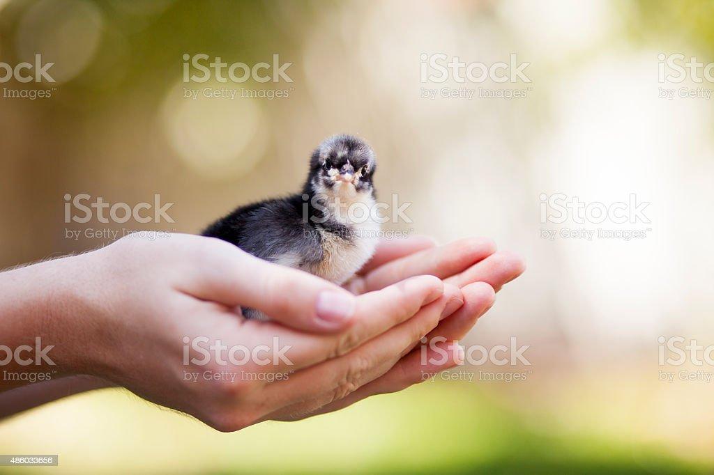 Baby Chick Black Australorp stock photo