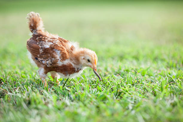 Baby Chick Eating Worm stock photo