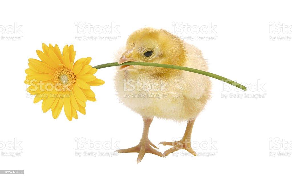 Baby Chick Holding a Daisy royalty-free stock photo