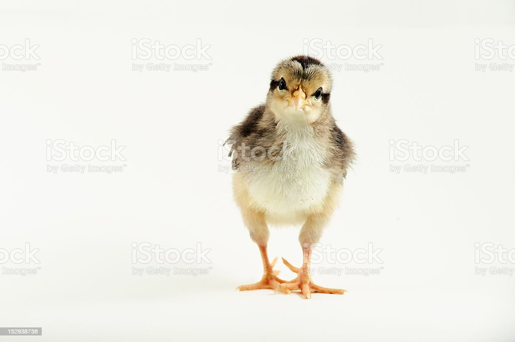 Baby chick on a white background. royalty-free stock photo