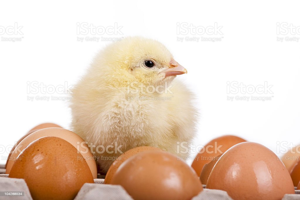 Baby chick on  eggs in egg carton royalty-free stock photo