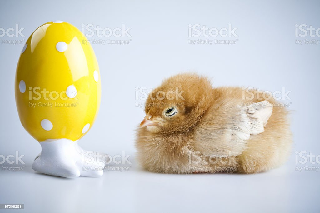Baby chick royalty-free stock photo