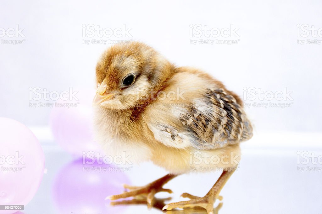 Baby Chick with easter eggs royalty-free stock photo