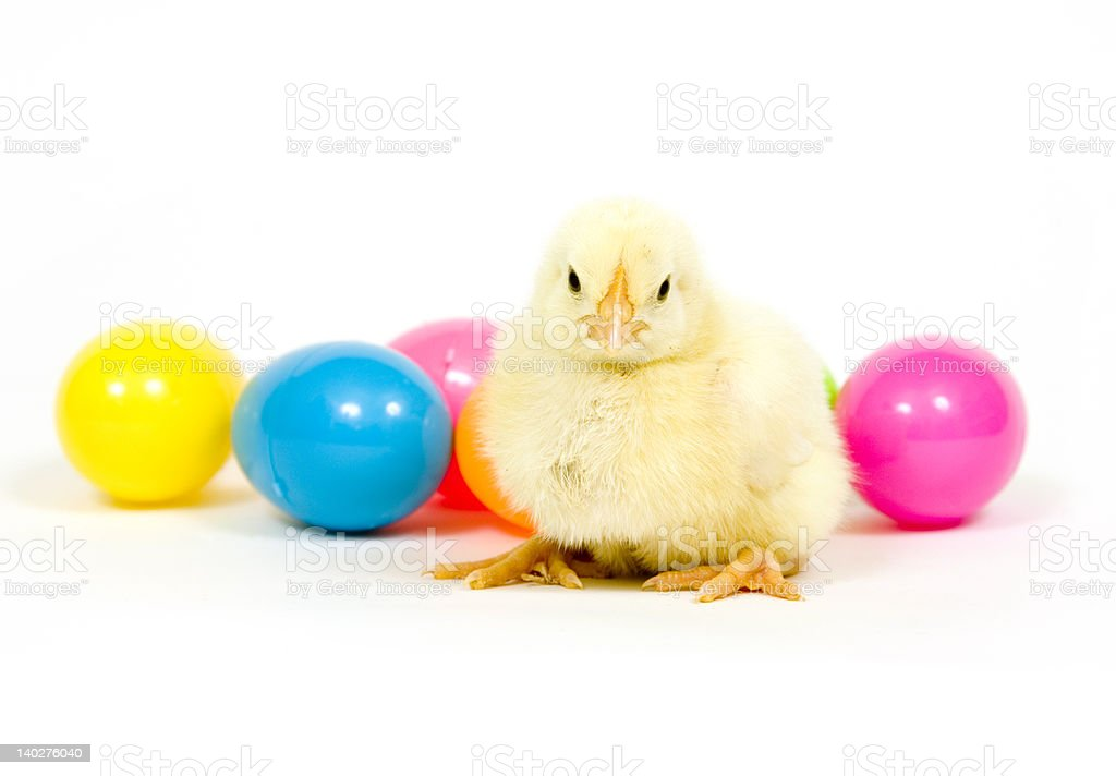 Baby chicken and eggs royalty-free stock photo