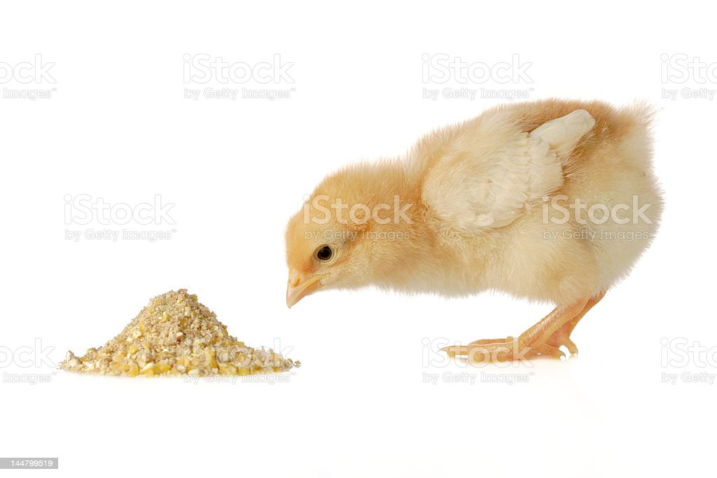 Baby chicken having a meal stock photo