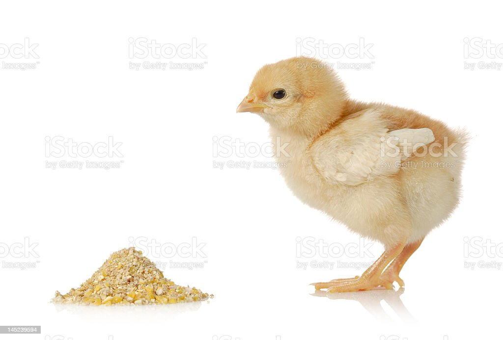 Baby chicken having a meal royalty-free stock photo