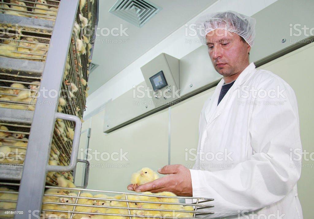 Baby chicken in incubator stock photo
