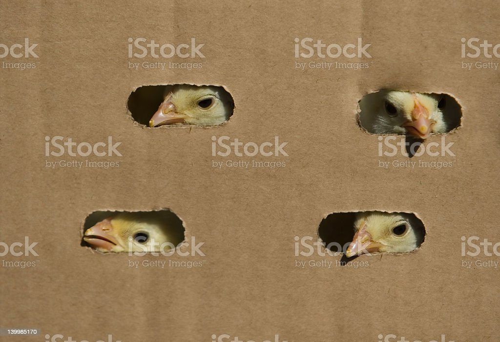 baby chicken in the box royalty-free stock photo