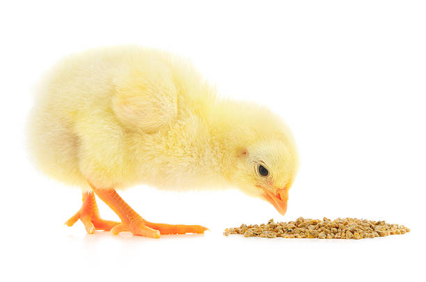 Baby chicken pecking at food on white background