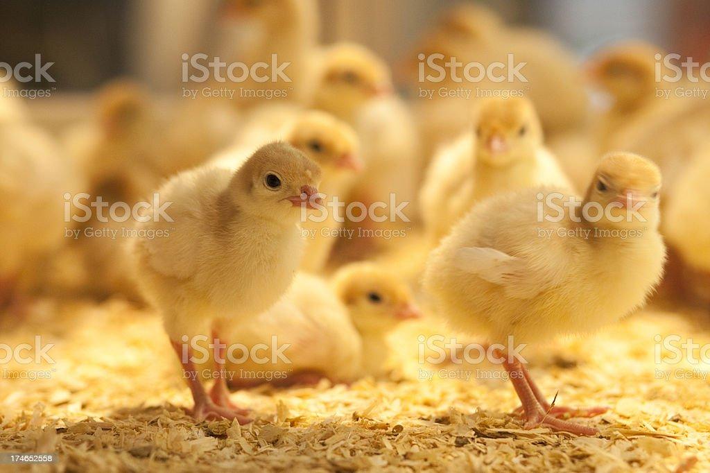 Baby Chicken royalty-free stock photo