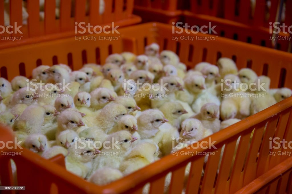 Baby Chicken, Poultry Business stock photo