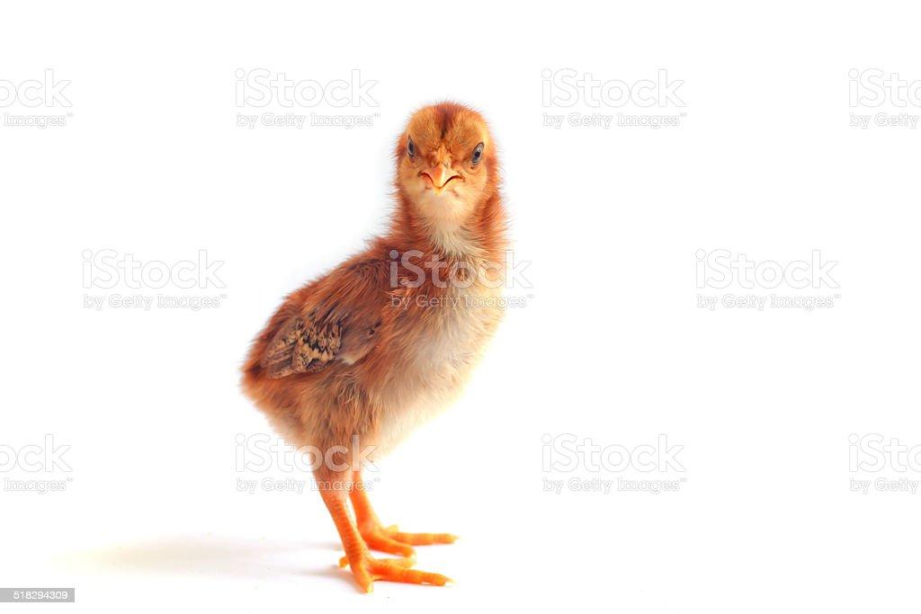 Baby chicken - Stock Image stock photo