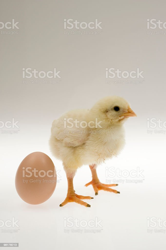Baby chicken with egg royalty-free stock photo