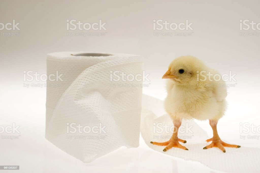 Baby chicken with toilet paper royalty-free stock photo