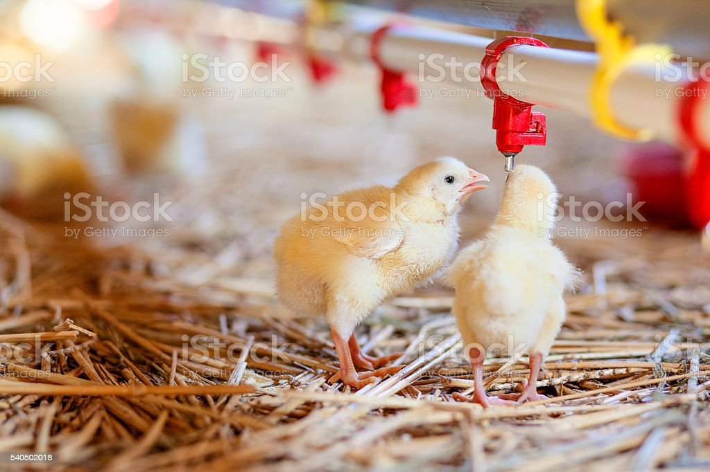 Baby chickens at the farm drinking water stock photo