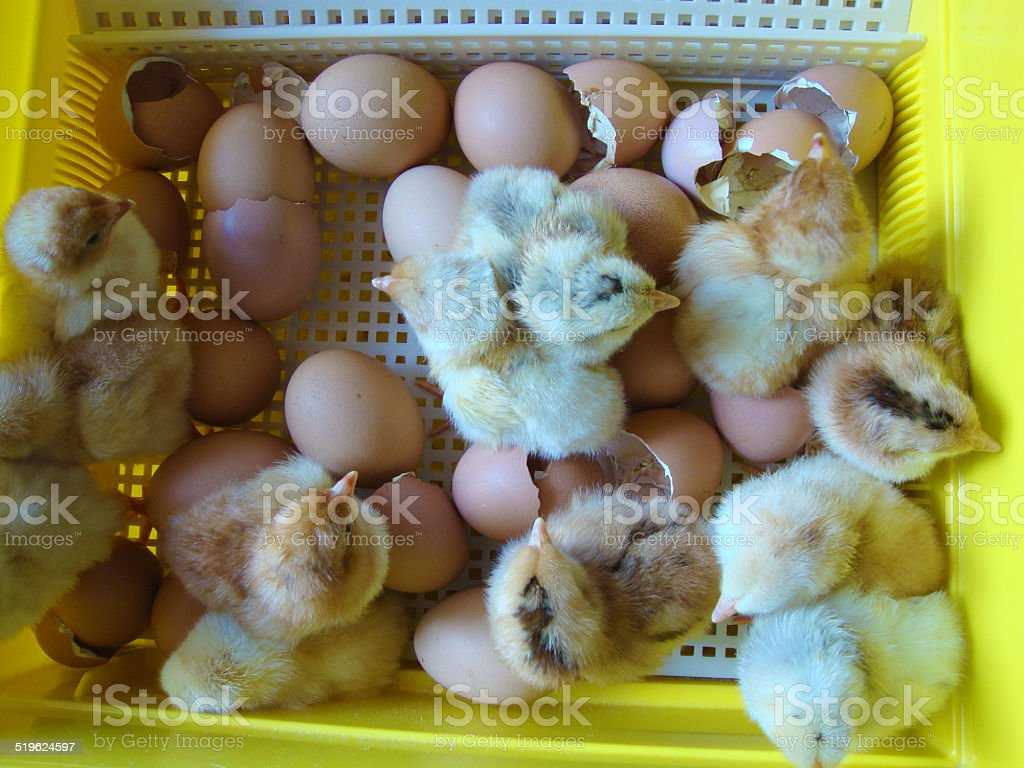 Baby chickens in an incubator stock photo