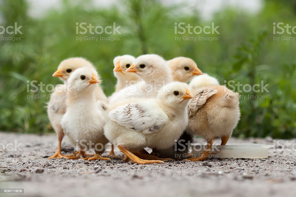 Baby chickens stock photo