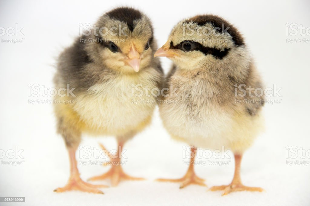 Baby Chickens Telling Secrets Stock Photo More Pictures Of