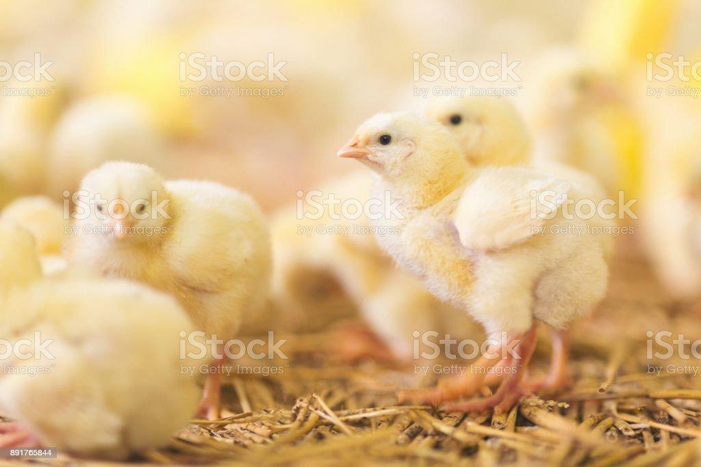 Baby chicks at farm stock photo