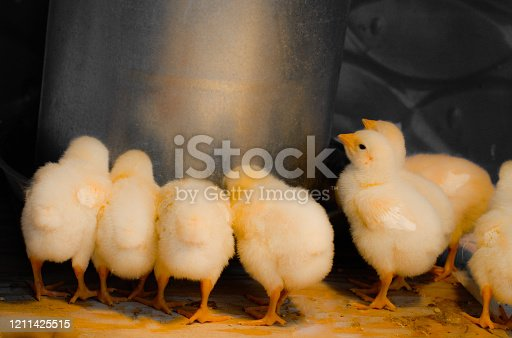 Picture of young chicks eating from a feeder
