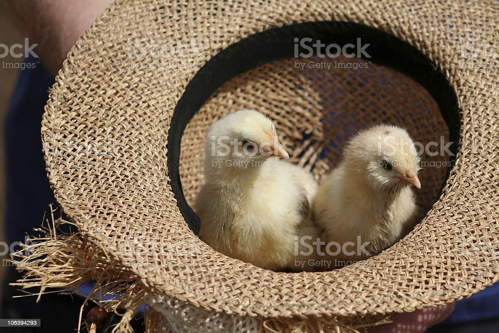 baby chicks in a straw hat royalty-free stock photo