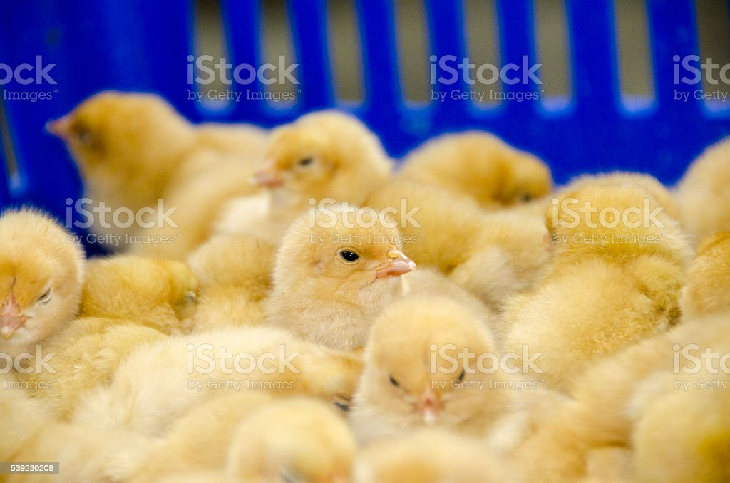 baby chicks in blue crate stock photo