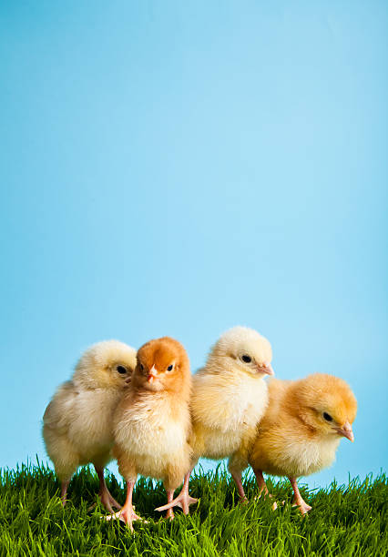 Baby chicks in grass on blue background stock photo