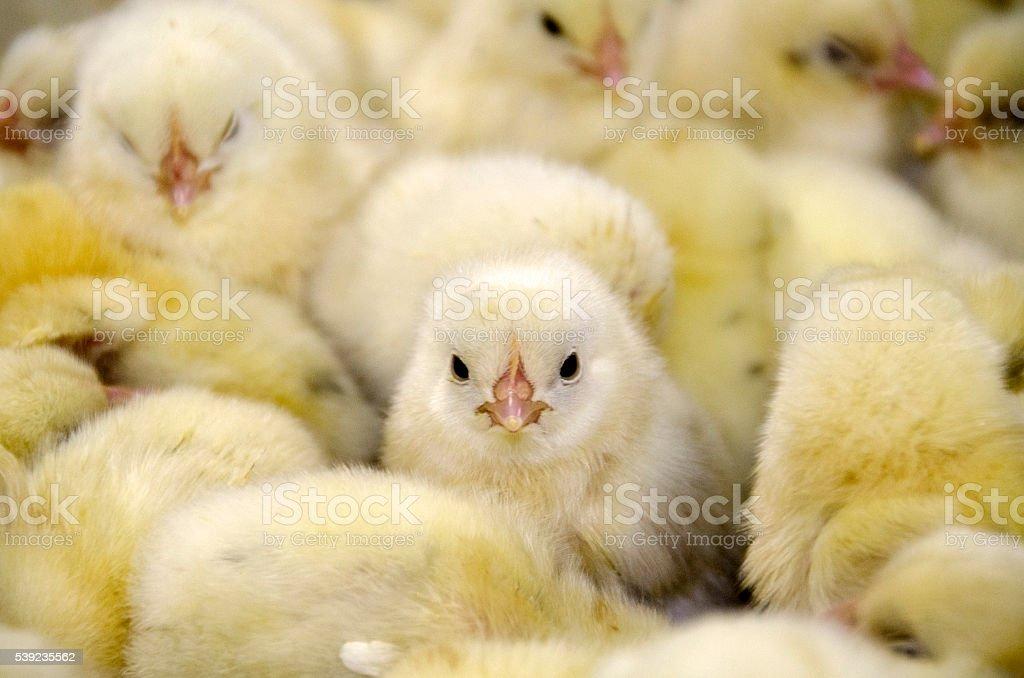 baby chicks in hatchery stock photo