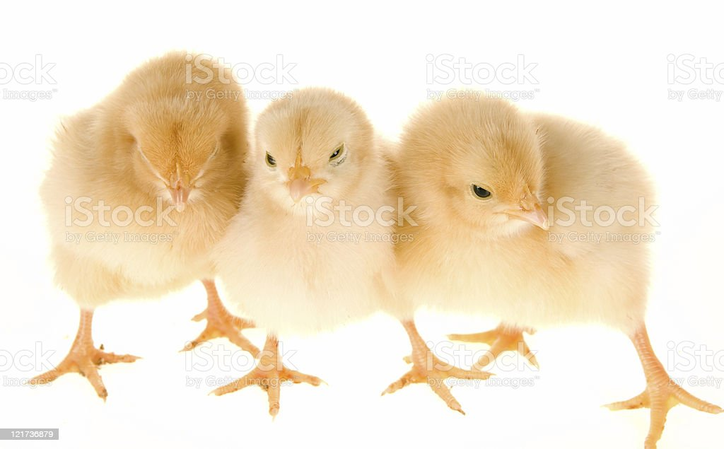 Baby Chicks royalty-free stock photo