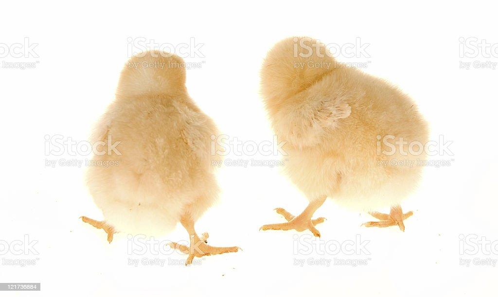 Baby Chicks royalty-free stock photo