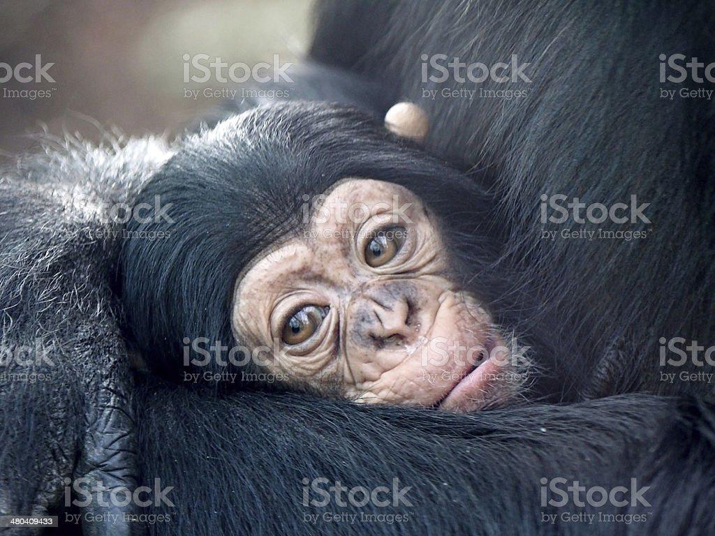 Baby chimp stock photo