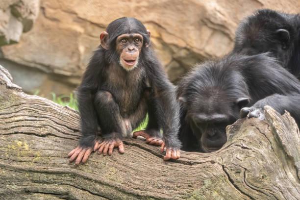 Baby Schimpanse (Pan troglodytes), ein großer Affe in den Wäldern und Savannen des tropischen Afrika. und Menschen nächsten lebenden Verwandten. – Foto
