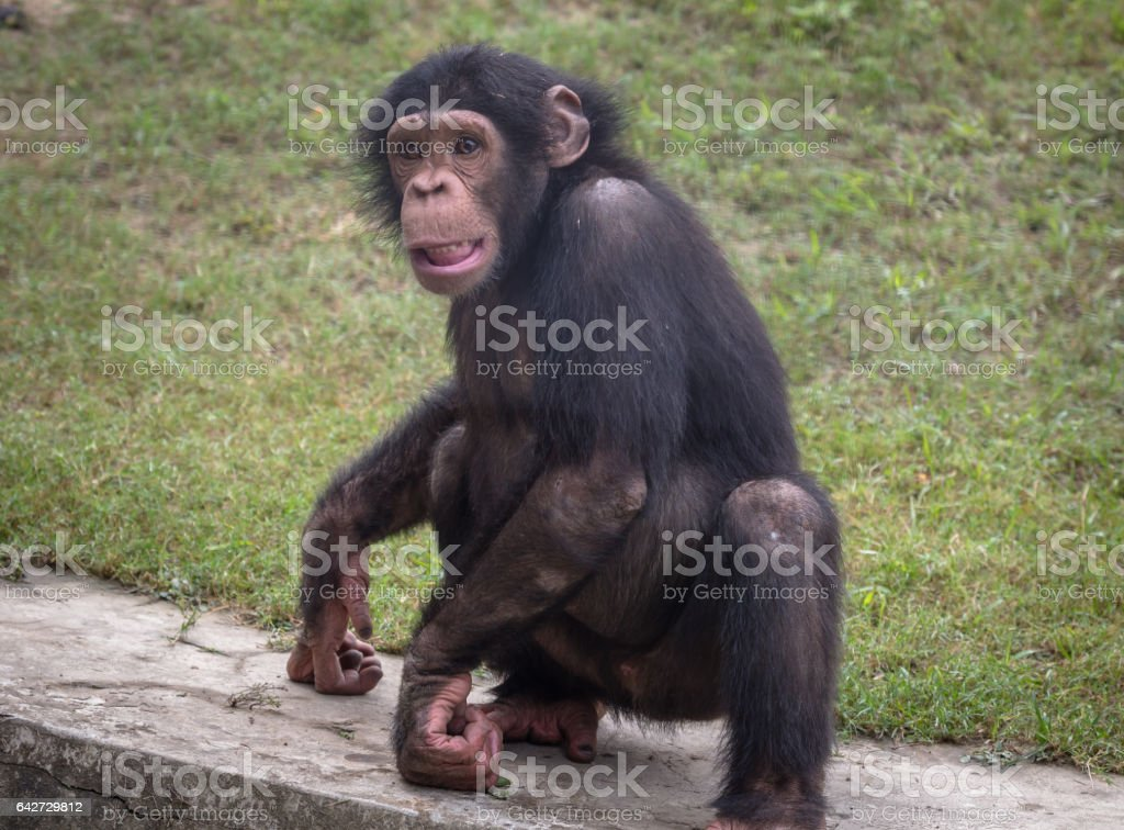 Baby Chimpanzee Closeup Portrait At A Wildlife Reserve In India