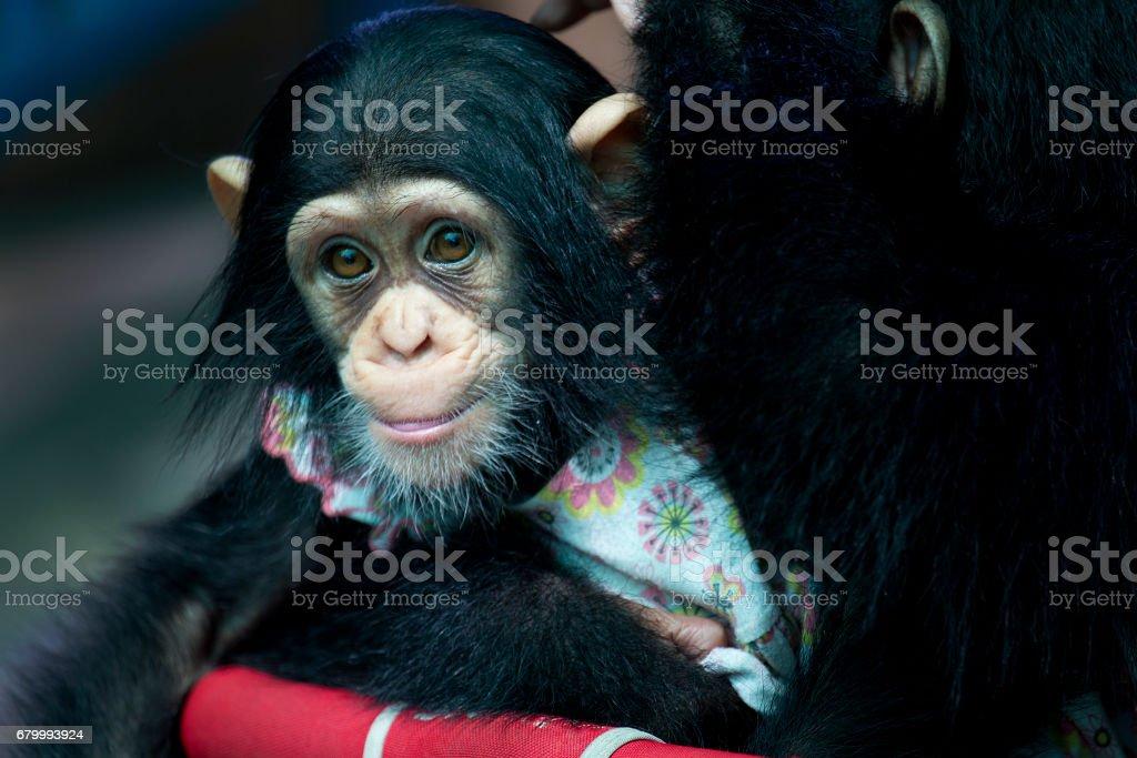 baby chimpanzee stock photo