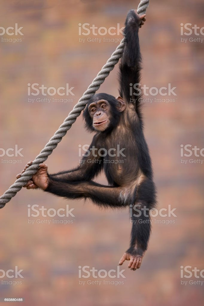 Baby Chimpanzee playing on rope stock photo