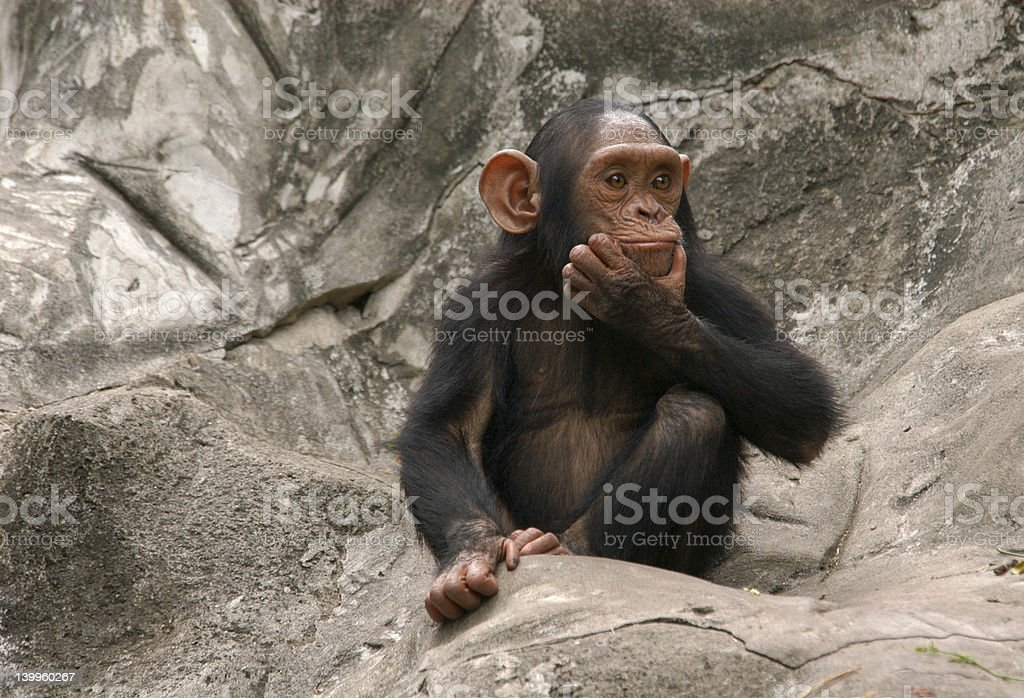 Baby chimpanzee sitting on rocks stock photo