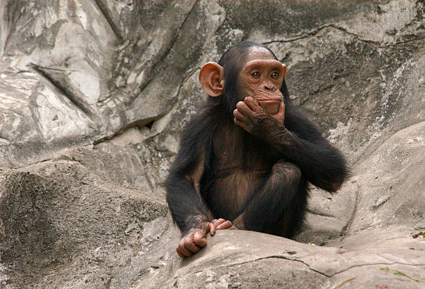 baby chimpanzee sitting on rocks - ape stock pictures, royalty-free photos & images