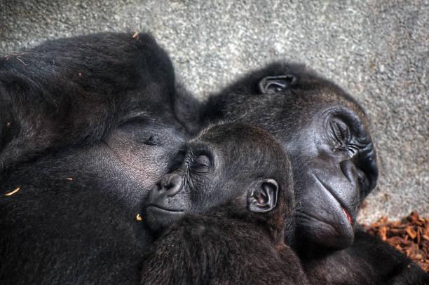 Baby chimpanzee sleeping at his mothers chest picture id1170682793?b=1&k=6&m=1170682793&s=612x612&w=0&h=fgrkik jpzpg6mbpycj cmhv22n1fv8ddzl1jjdbesw=