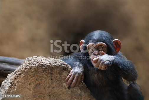 Baby chimpazee with a hand in its mouth In the zoo