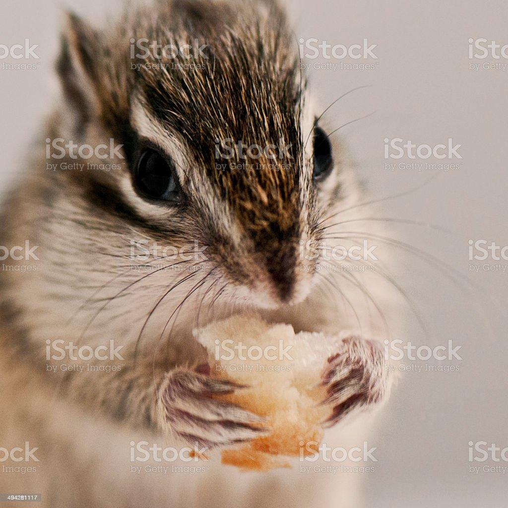Baby chipmunk stock photo