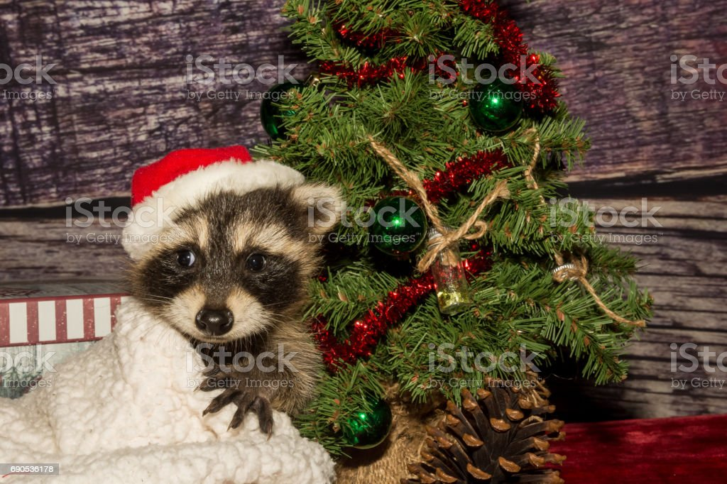 Baby Christmas Raccoon Stock Photo More Pictures Of Animal Istock