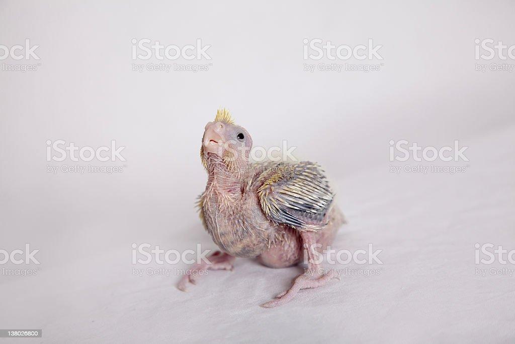 Baby Cockatiel stock photo