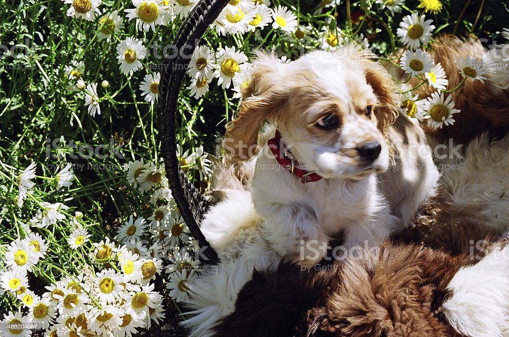 Baby Cocker Spaniel Among The Daisys Stock Photo Download Image Now Istock