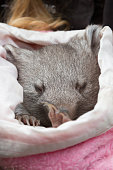 baby common wombat in a cloth pouch in an Australian wildlife santuary