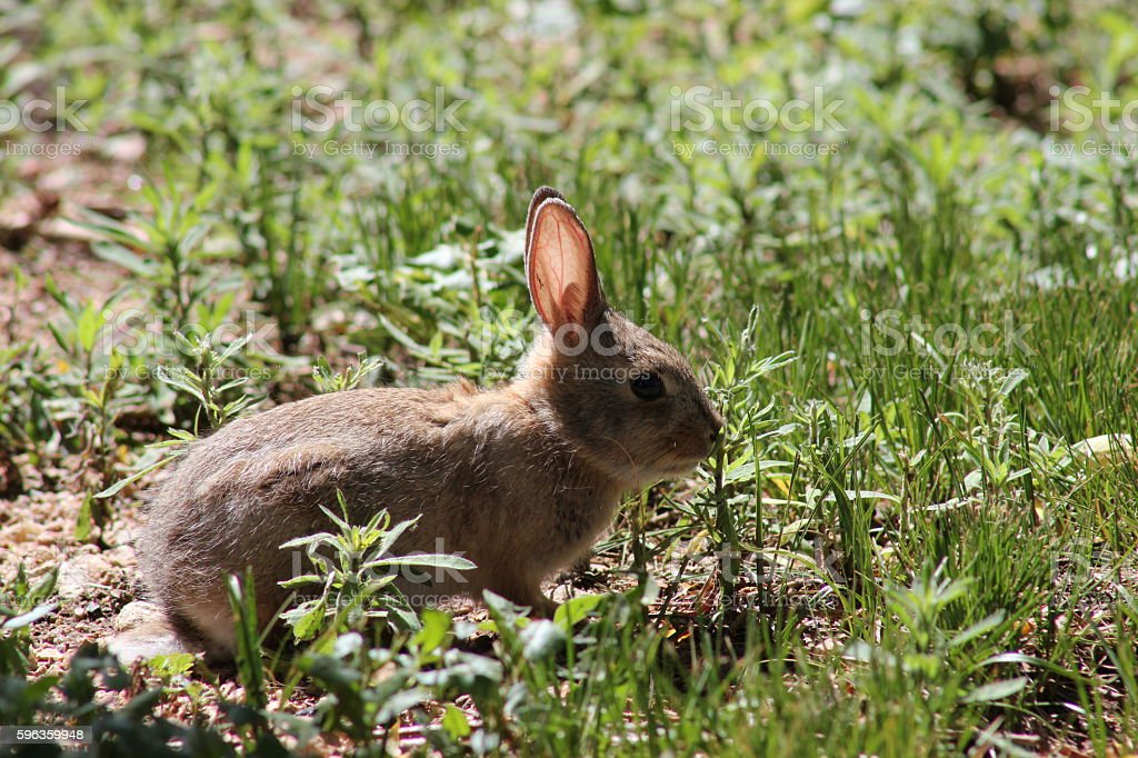 Baby Cottontail Rabbit royalty-free stock photo