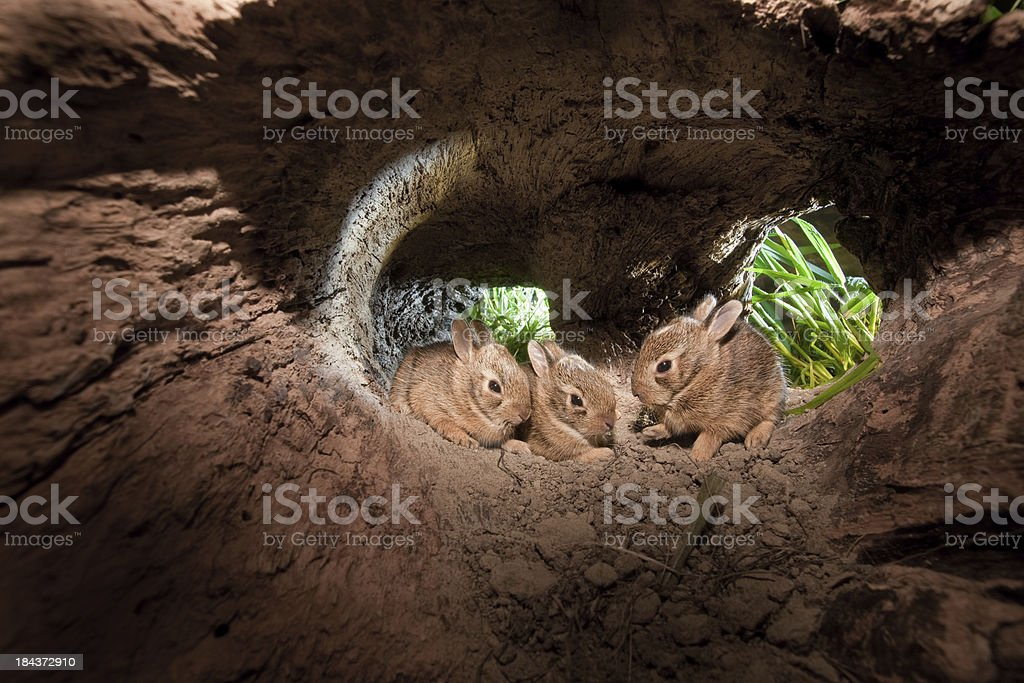 Baby Cottontail Rabbits, at home in their hollowed out log stock photo