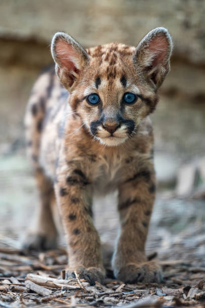 Baby cougar mountain lion or puma picture id1076468378?b=1&k=6&m=1076468378&s=612x612&w=0&h=rfolzafads661ijm oyqlhmdpizubdetutvzpmzd8f0=
