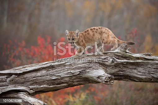 baby cougar on tree