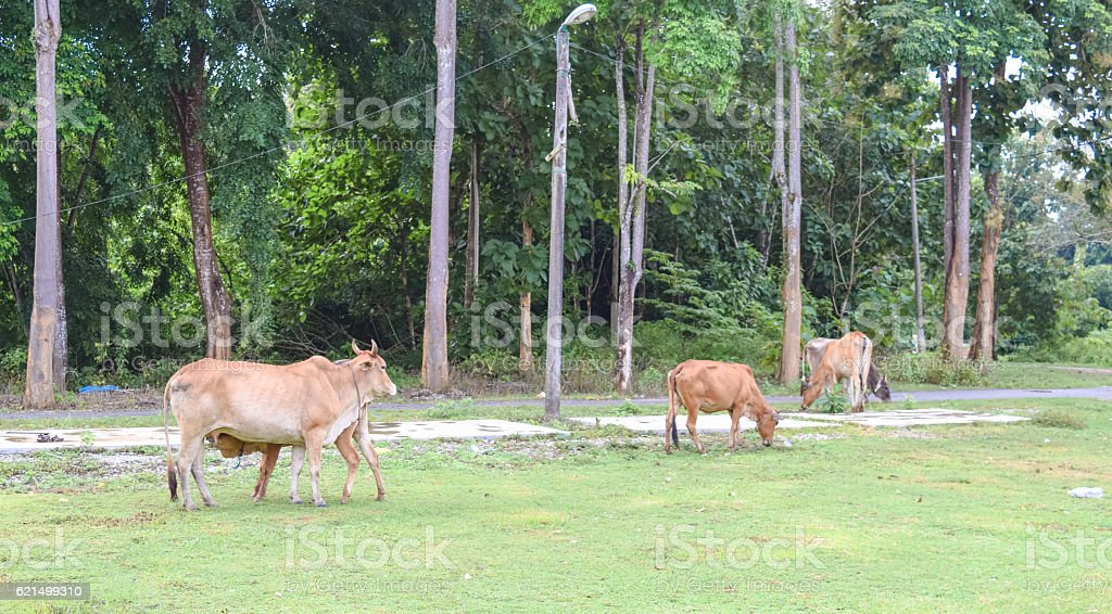 Baby Cow Drinking Mom's milk foto stock royalty-free